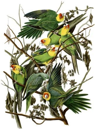 """John James Audubon, """"Carolina Parakeet,"""" c. 1828"""